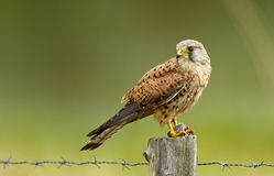 Young Kestrel with a prey. Young common Kestrel  with a prey on a pole Stock Images