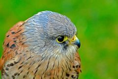 A young kestrel at rest Royalty Free Stock Photography