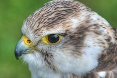 A young kestrel at rest Royalty Free Stock Images