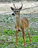 Young Key Deer with Antlers Stock Image