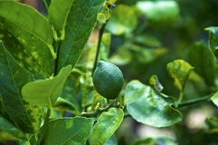 Young key lime growing on fruit tree. Close up of of young key lime growing on tropical fruit tree surrounded by green and yellow leaves royalty free stock image