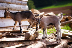 Young kid goat on wood in land. Meadow background.. royalty free stock photo