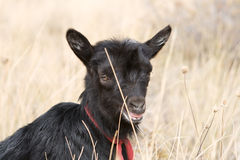 Young Kinder Goat Stock Image