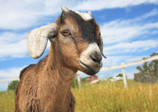 Young Kinder Goat. Very cute brown and white young kinder goat on a farm Stock Images