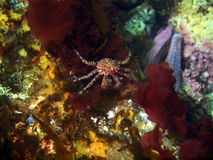 The young king crab Royalty Free Stock Photos