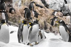 Young king penguin , group of penguins in zoo stock image