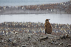 Young king penguin looking over colony, South Georgia Royalty Free Stock Image
