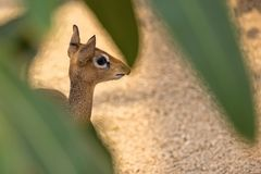 Young Kirk`s Dik-Dik hidden in the wild. In a clearing Royalty Free Stock Photo