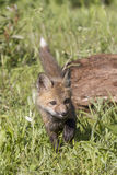 Young Kit Red Fox. With tail up in field Royalty Free Stock Images
