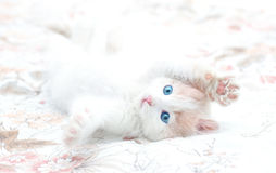 Young kitten Royalty Free Stock Photos