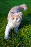 Young kitten in the backyard Royalty Free Stock Images