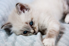 Young kitten blue eyes. Young kitten clear coat and blue eyes lying on a sheet royalty free stock photo