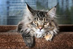 Beautiful kitty. Young kitten breed Maine Coon against the window stock photos