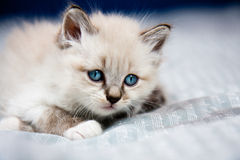 Young kitten clear coat. Blue eyes, lying on a sheet, ready to hunt royalty free stock images