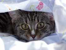 Young Kitten - Curious Look. Young Cat Hiding Under the Blanket royalty free stock photography