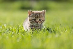 Young kitten in green grass Royalty Free Stock Photos