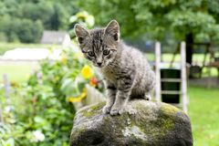 Young Kitten royalty free stock photography