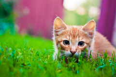 Young kitten is hunting on green grass Royalty Free Stock Photography