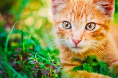 Young Kitten Is Hunting On Green Grass Stock Photos