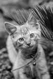 Young Kitten. A young kitten looking for trouble Stock Images