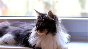 Young kitten maine coon stock video