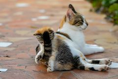 Young kitten and mother cat. Playful young calico tortoiseshell kitten getting a face of tail from mum stock photo