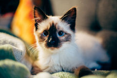 Young kitten on pillows Stock Photo