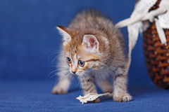 Young kitten stay on blue background Royalty Free Stock Photos