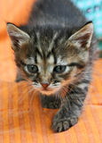 Young kitten. Royalty Free Stock Photo