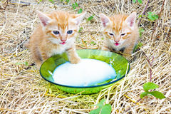 Young kittens drinking milk Stock Image