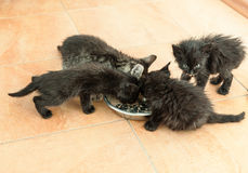 Young kittens eating Royalty Free Stock Image