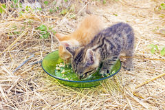 Young kittens eating Royalty Free Stock Images