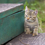 Young kittens sneak Royalty Free Stock Image