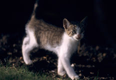 Young kitty cat with dark background Royalty Free Stock Photos
