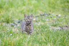 Young kitty on grass Royalty Free Stock Photos