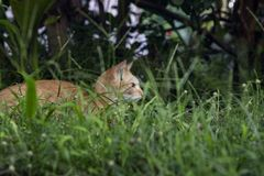 Young kitty in green grass. Cute cat in summer garden. Domestic pet hunt and relax outdoor. Orange cat portrait. Summer travel with pet. Domestic animal in stock photo