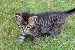 Young kitty on walk Royalty Free Stock Photo