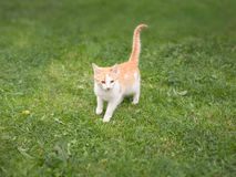 Young kitty walking on green field Royalty Free Stock Images