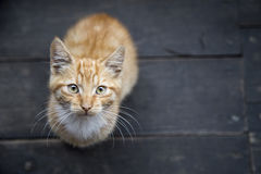 Young kitty on wooden floor Royalty Free Stock Photos