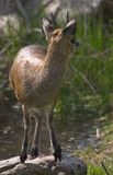 Young klipspringer. Young male klipspringer Royalty Free Stock Photos