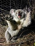Young koala at night trapped in wire mesh of farm fence royalty free stock photo