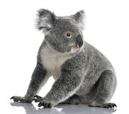 Young koala, Phascolarctos cinereus, 14 months Stock Photo