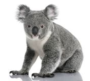 Young koala, Phascolarctos cinereus, 14 months old stock photography