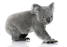 Young koala, Phascolarctos cinereus, 14 months old. In front of white background Royalty Free Stock Image