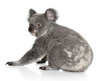 Young koala, Phascolarctos cinereus, 14 months old Royalty Free Stock Photography