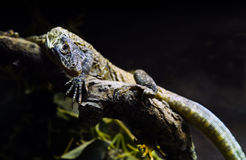 Young Komodo dragon on branch Royalty Free Stock Photos