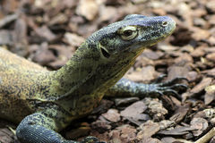 Young Komodo Dragon Royalty Free Stock Image