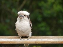 A young Kookaburra on a balcony Stock Photos