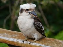 A young Kookaburra Stock Photos