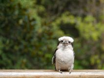 A young Kookaburra Royalty Free Stock Photos